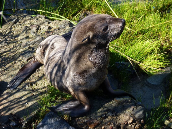 A Southamerican fur seal reached the RECS