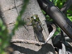Chicharra/Cicada