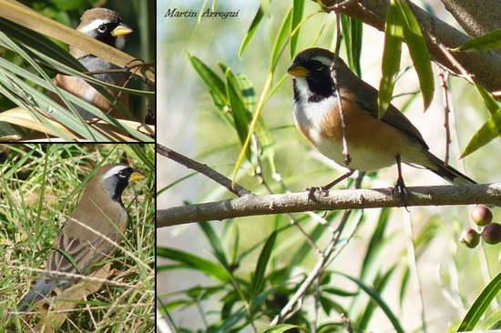 Pepitero chico/Many-colored Chaco Finch