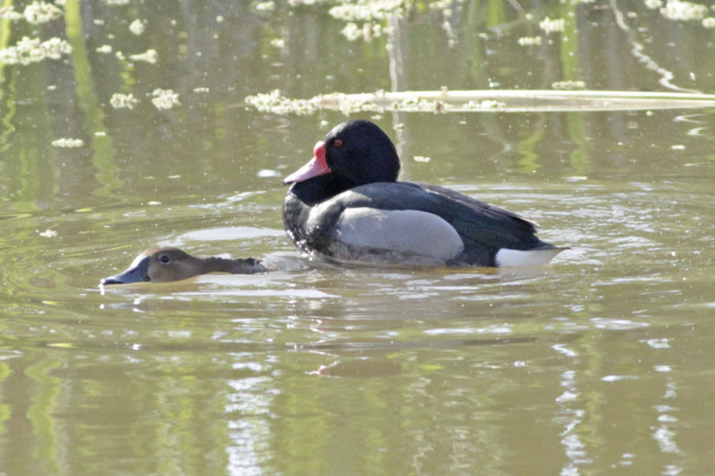Mating of Rosy-billed Pochard