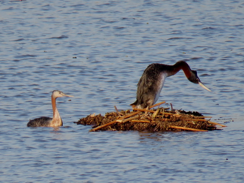 Great grebe displays