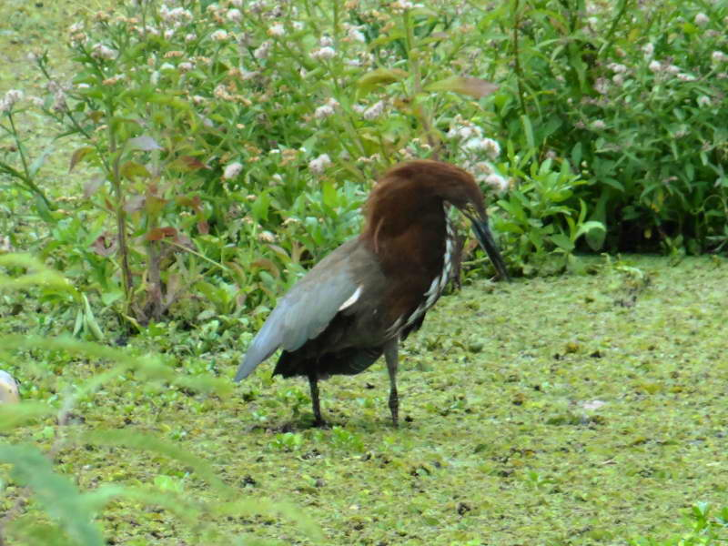 Displays of Rufescent Tiger-Heron