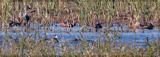 Overo-Cuchara/Wigeon and Shoveler