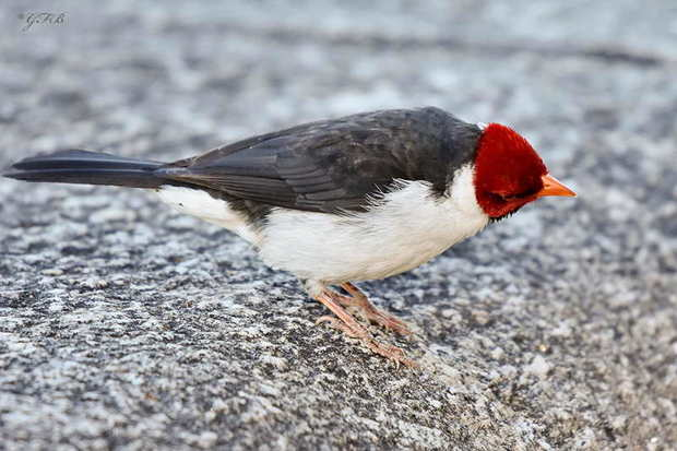 Cardenilla/Golden-billed Cardinal