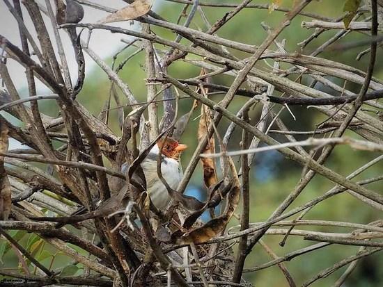 Cortarramas/White-tipped Plantcutter