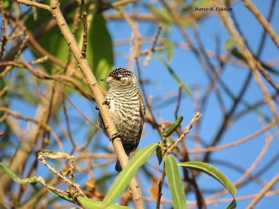 Carpinterito común/White-barred Piculet