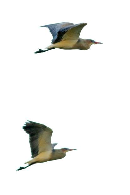 Chiflón/Whistling Heron