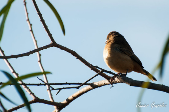 Corbatita dominó/Rusty-collared Seedeater