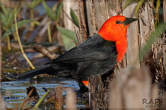 Federal/Scarlet headed Blackbird