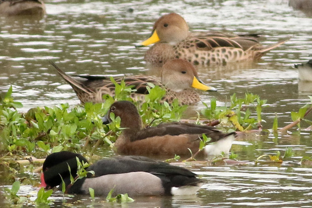 Patos maicero y picazo/Yellow-billed Pintail and Rosy-billed Pochard