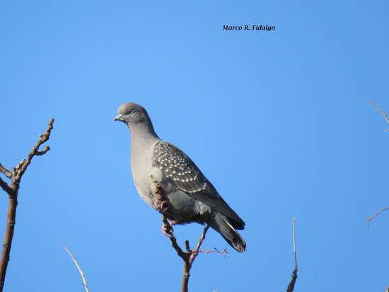 Paloma manchada/Spot-winged Pigeon