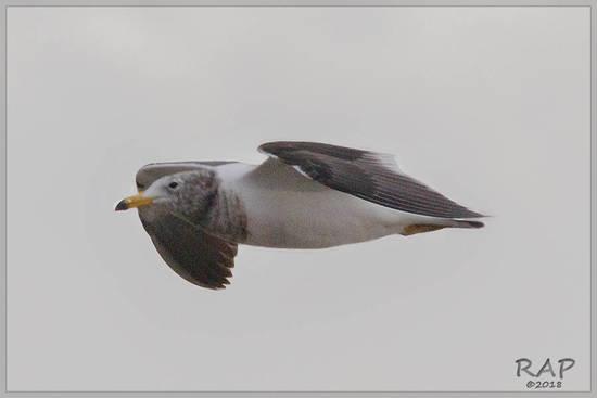 Gaviota cangrejera/Olrog's Gull