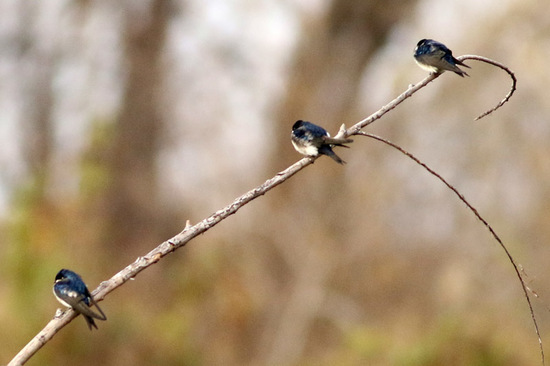 Golondrina barranquera/Blue-and-white Swallow