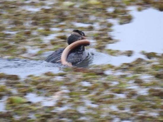 Macá pico grueso/Pied-billed grebe