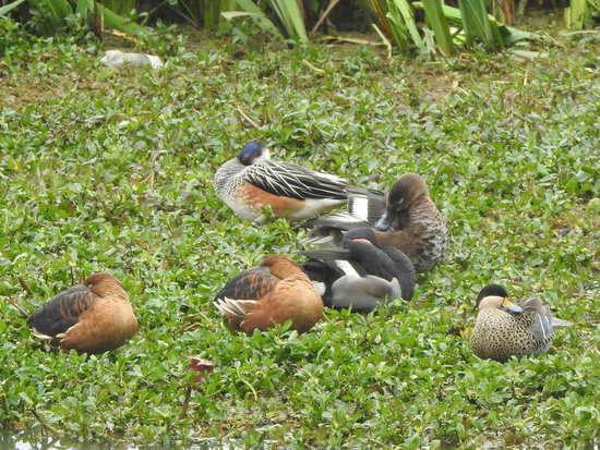 Pato overo/Chiloe Wigeon