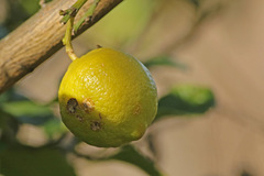 Limón/Lemon