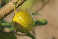 Limón/Lemon