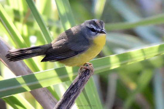 Arañero coronado chico/Golden-crowned Warbler