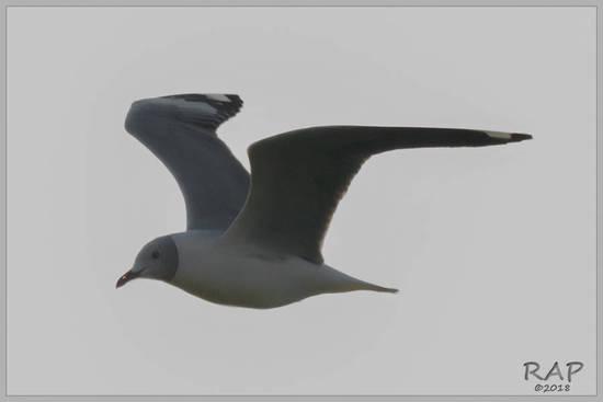 Gaviota capucho gris/Hrey-hooded Gull