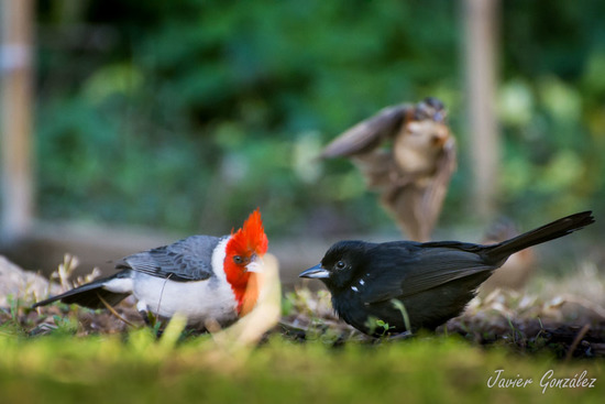 Cardenal y Frutero/Cardina and Tanager