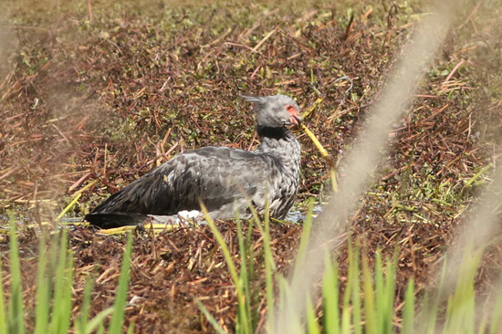 Chajá/Southern Screamer