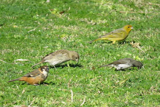 Corbatitas y jilgueros/Seedeaters and Finches