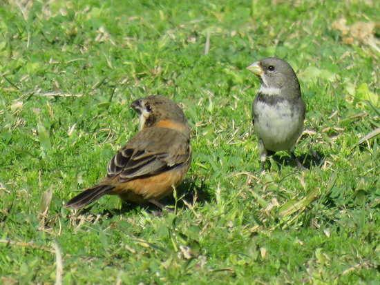 Corbatitas y jilgueros/Seedeaters and Finches