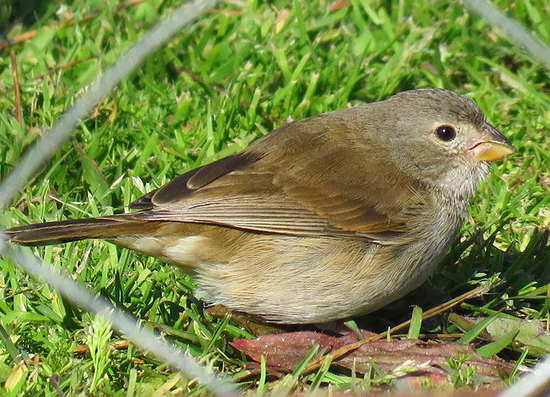 Espiguero pardo/Dull-coloured Grassquit