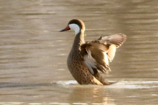 Pato gargantilla/White-cheeked Pintail