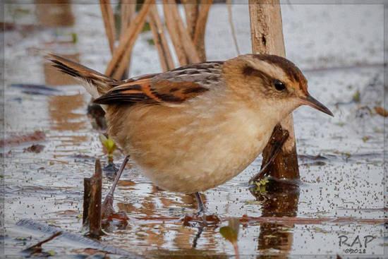 Junquero/Wren-like Rush-bird