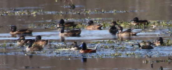 Patos cabeza negra y zambullidor chico/Black-headed and Lake Ducks