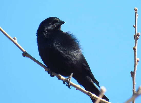 Tordo pico corto/Screaming Cowbird