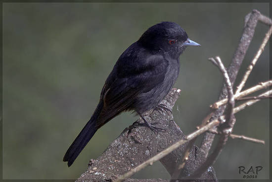 Viudita pico celeste/Blue-billed Black-Tyrant
