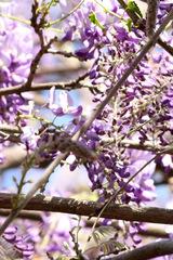 Glicina/Chinese wisteria