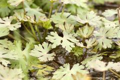 Apio del diablo/Ranunculus apiifolius