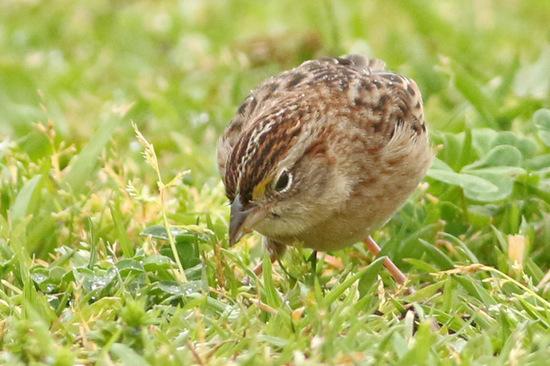 Cachilo ceja amarilla/Grassland Sparrow