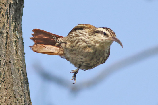 Chinchero chico/Narrow-billed Woodcreeper