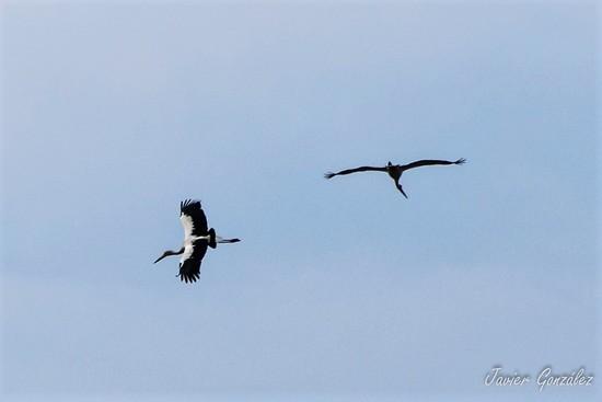 Cig[ueña americana/Maguari Stork