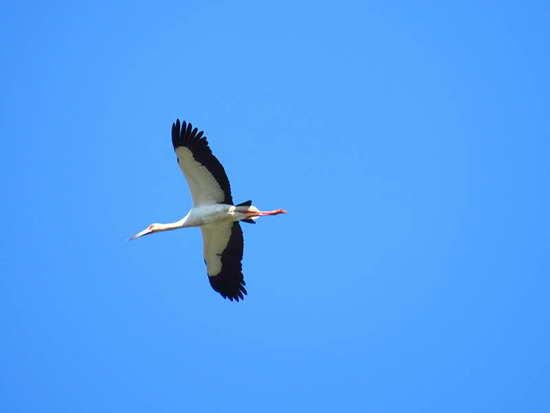 Cigüeña americana/Maguari Storkk