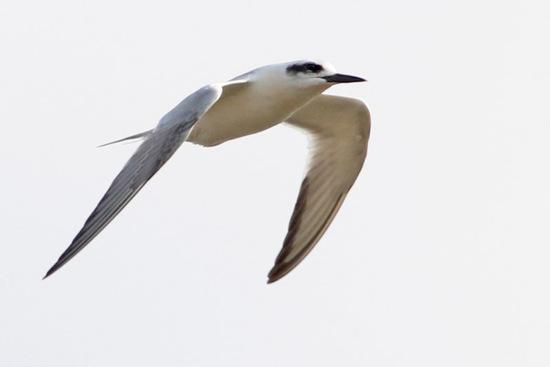 Gaviotín lagunero/Snowy-crowned Tern