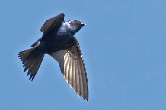 Golondrina negra/Southern Martin