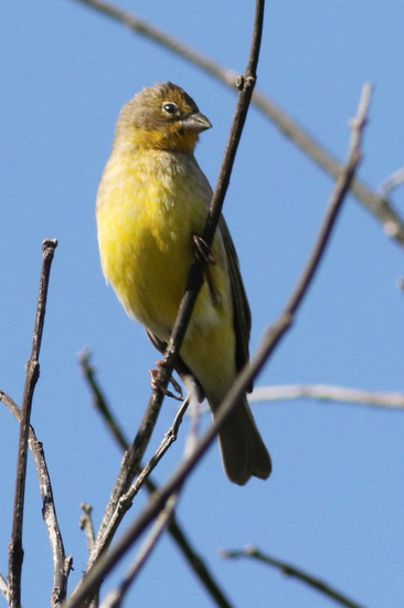 Misto/Grassland Yellow-Finch