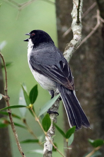 Monterita cabeza negra/Balck-capped Warbling-Finch