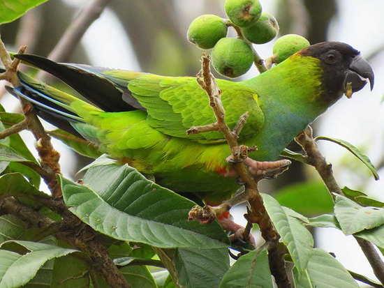 Ñanday/Nenday Parakeet