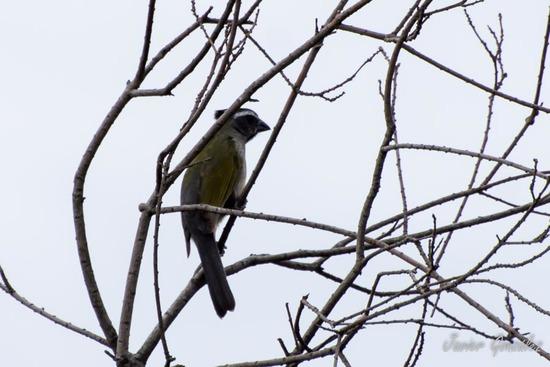 Pepitero verdosos/Green-winged Saltator