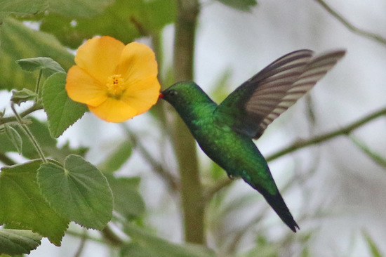 Picaflor común/Glittering-bellied Emerald