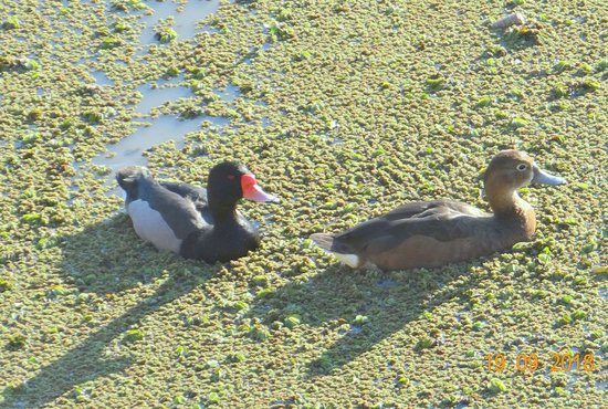 Pato picazo/Rosy-billed Pochard