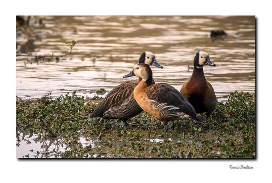 Sirirí hibrido/Hybrid whistling-duck