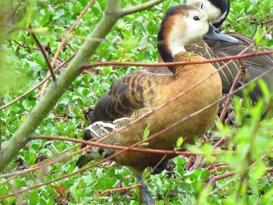 Sirirí híbrido/Hybrid Whistling-duck