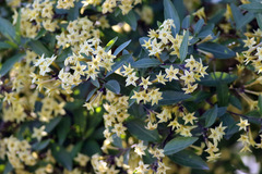 Hediondillo/Cestrum euanthes